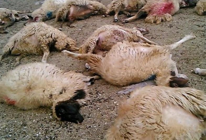کشته شدن حدود 100 راس گوسفند در تصادف بزرگراه همدان- ساوه